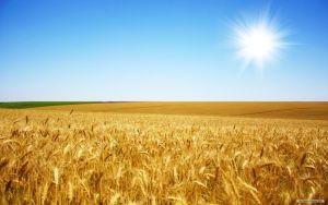694870__wallpaper-field-nature-wheat_p