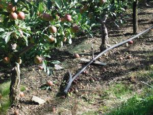 irrigation sous frondaison pomme 2
