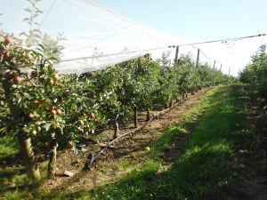 irrigation sous frondaison pommes